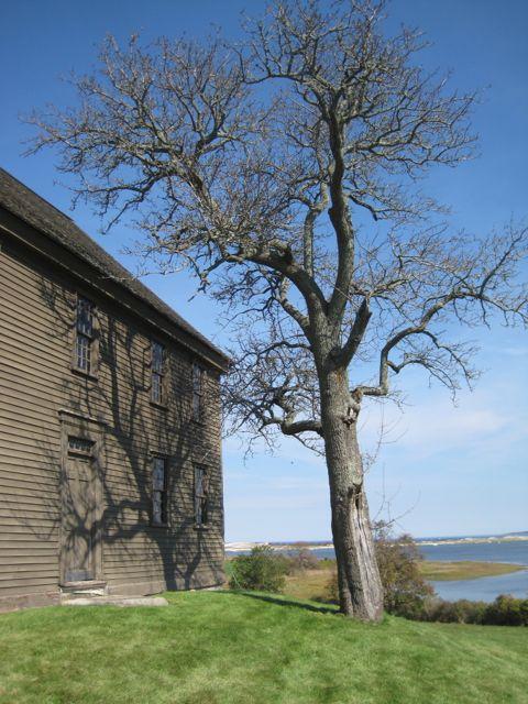 Choate House Tree